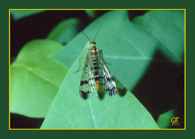 19840607 panorpa communis l 1758 mosca scorpione negarine di