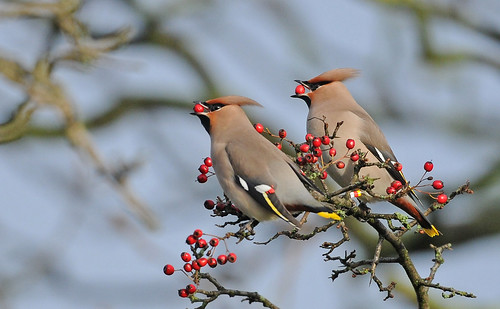 Waxwings. Barrow. Whalley. Lancs.