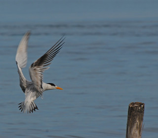 Royal tern landing