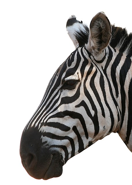 Zebra Head On White Background Flickr Photo Sharing