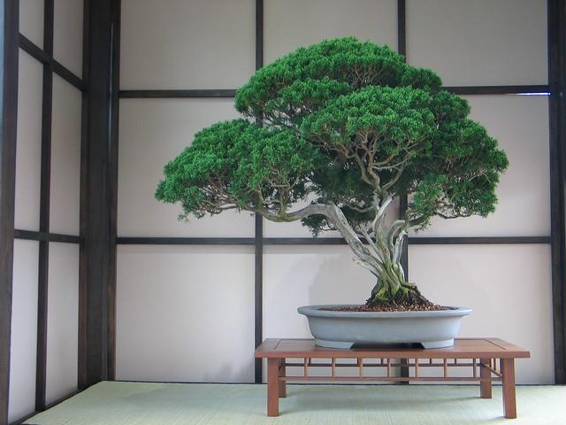 Very old Juniperus chinensis.