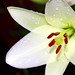 Small photo of White Asiatic - just opening up...