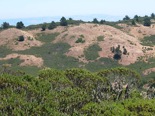 Habitat Coastal Scrub Coyote Brush Native Perennial