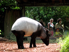 animal, zoo, fauna, tapir,