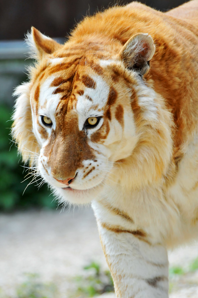 Walking golden tiger