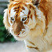 Walking golden tiger by Tambako the Jaguar