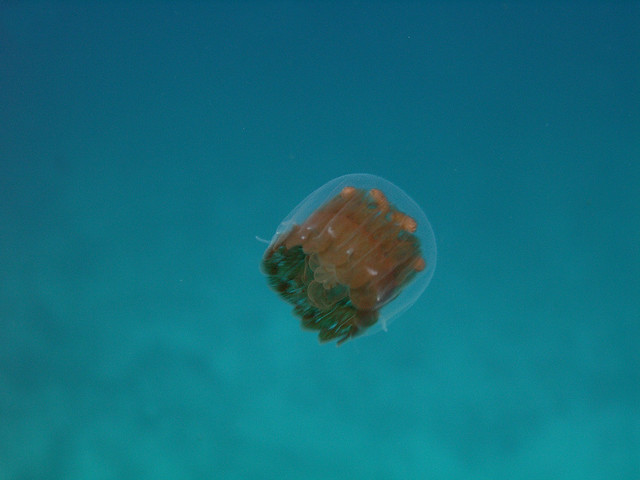 thimble jelly fish | Flickr - Photo Sharing!