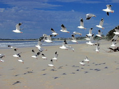 Sea gulls, Byron Bay