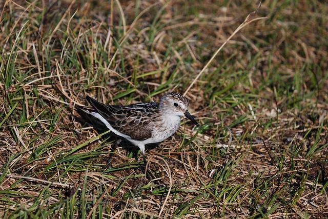 Arctic Tundra BirdsTundra Birds