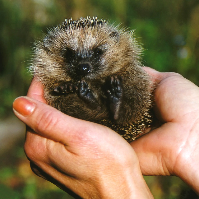 Everybody loves Mecki ... the little Hedgehog in my Hand