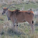 Small photo of Eland