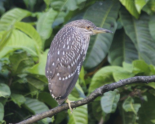 Black-crowned Night-Heron (Nycticorax nycticorax) juv