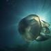 Rhizostoma pulmo by Spearfish