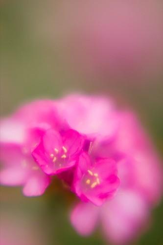 Pink Puff Blossom