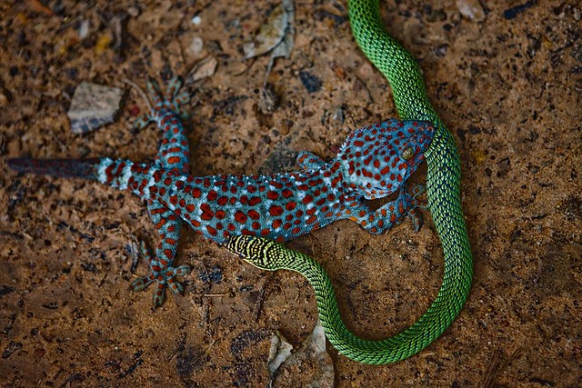 Tokay Gecko eating a snake. Cambodia