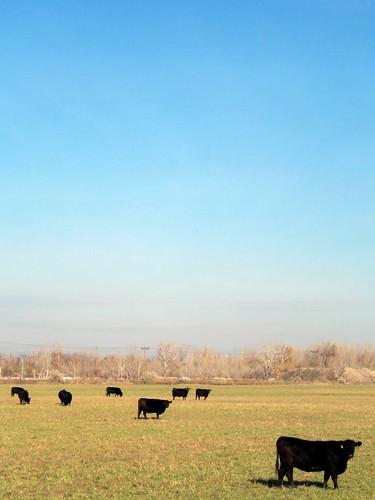 black field cow photo cows