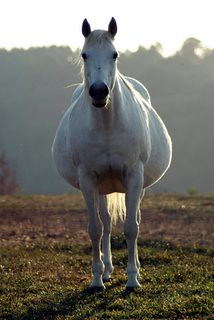A very pregnant horse | Flickr - Photo Sharing!