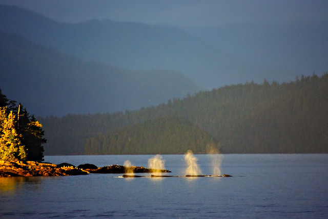 Humpback Whales Spouting