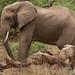 Large Elephant - Lake Manyara, Tanzania