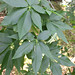 California Buckeye - Photo (c) Steve Lew, some rights reserved (CC BY-NC-SA)