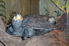 animal, turtle, reptile, fauna, tortoise,