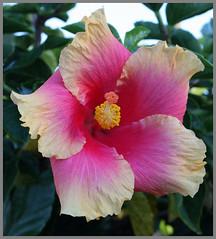 Hibiscus Pink-Cream-1+