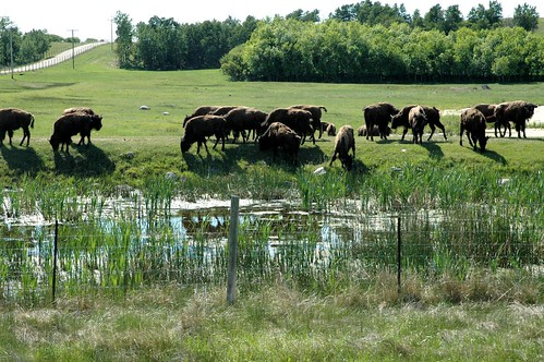 buffalo farm 012b