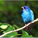 Indigo Bunting by nature55