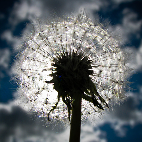 blue sky sun plant flower macro backlight clouds canon dandelion seeds backlit dandelionclock digitalcameraclub s5is