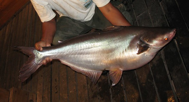 Looks pregnant to me. In Asia - this variety of catfish is a ...