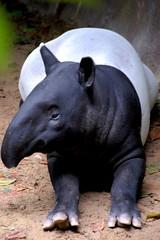 animal, zoo, fauna, tapir, wildlife,