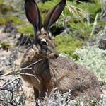 Lepus californicus californicus Black-tailed Jackrabbit