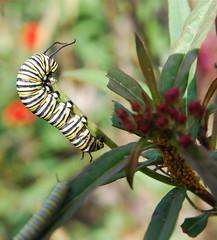 Monarch Caterpillars & Aphids