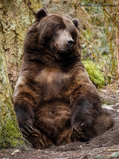 Grizzly bear sitting up - photo#5
