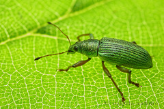 Green scaled weevil