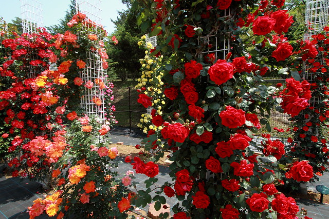 rambler rose_5155