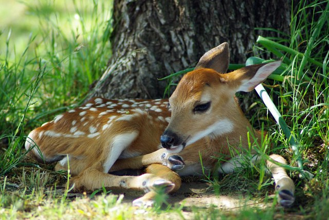 baby whitetail fawn in - photo #6