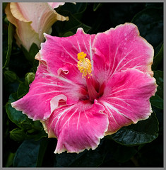 Hibiscus Pink-White-1+