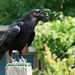 Small photo of Reaper the Raven