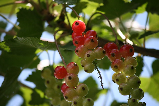 rode bes, aalbes, ribes rubrum, redcurrant
