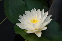 White Lotus (DSC_0064)
