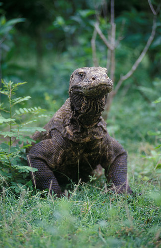 komodo dragon 25008637