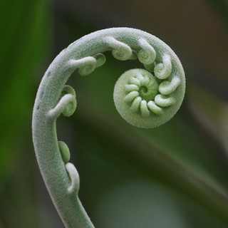 the unfolding of a fiddlehead, iv