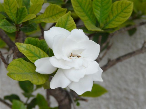 Best fragrant houseplants for your home the lovely plants gardenia is one of the best fragrant houseplant you will find their dark green leaves and creamy white flowers are a sight to behold and easily compliment mightylinksfo