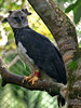 Harpy Eagle - Photo (c) David Cook Wildlife Photography, some rights reserved (CC BY-NC)