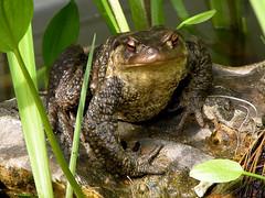 animal, amphibian, toad, frog, fauna, bullfrog, wildlife,