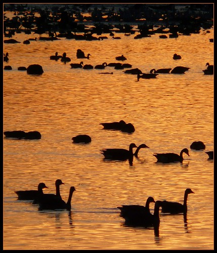 sunset ontario canada birds geese tramonto goose uccelli waterloo reflexions