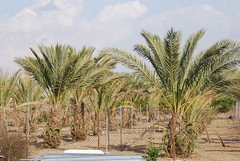 agriculture(0.0), borassus flabellifer(0.0), beach(0.0), fruit(0.0), food(0.0), crop(0.0), plantation(0.0), date palm(1.0), arecales(1.0), tree(1.0), plant(1.0), flora(1.0), produce(1.0), elaeis(1.0),