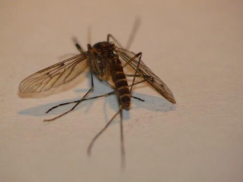 Diptera Identification Moustique Le Monde Des Insectes
