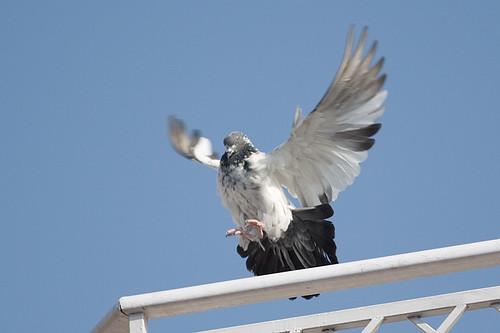 Pigeon Landing 002